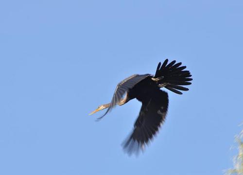 ฮือฮา! พบนกอ้ายงั่วที่ทุ่งตะกาดพลี ชะอำ